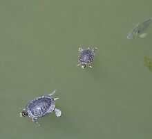 Turtles from El Dorado Regional Park by Francis Alfred