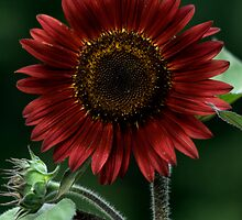 Red sunflower by joyfullphotos