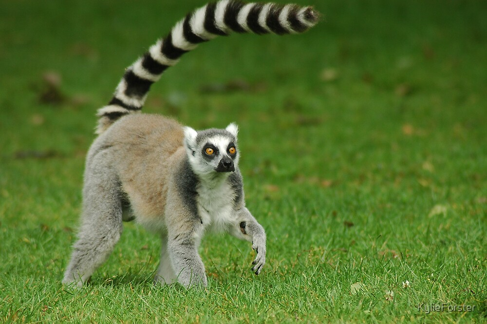 Lemur by KylieForster