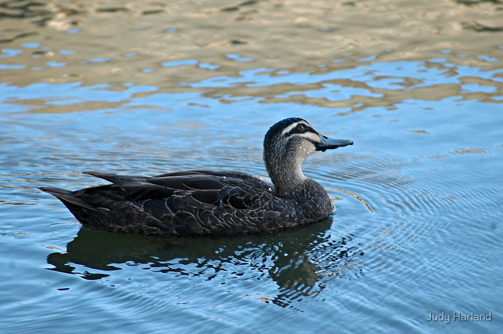 Pacific Black Duck by J Harland