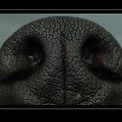 groenendael nose  by rkss