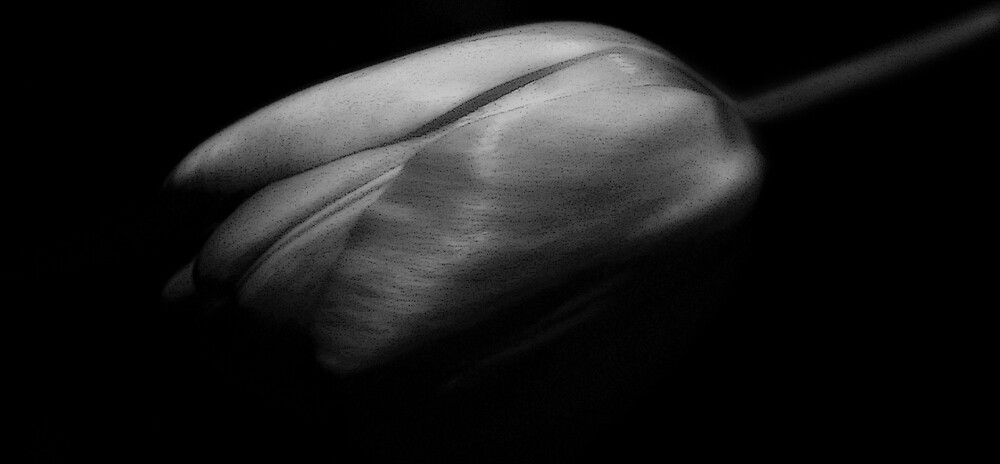 The Tulip by Sue Wickham
