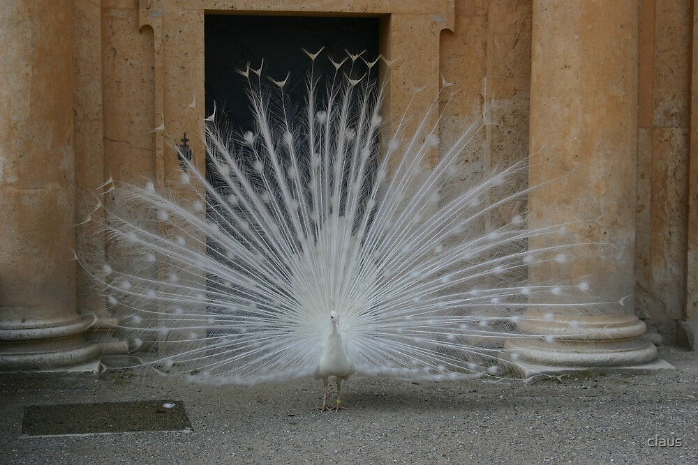 A proud white peacock by claus