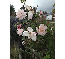 Pale Pink Rose Flowers Photographic Print