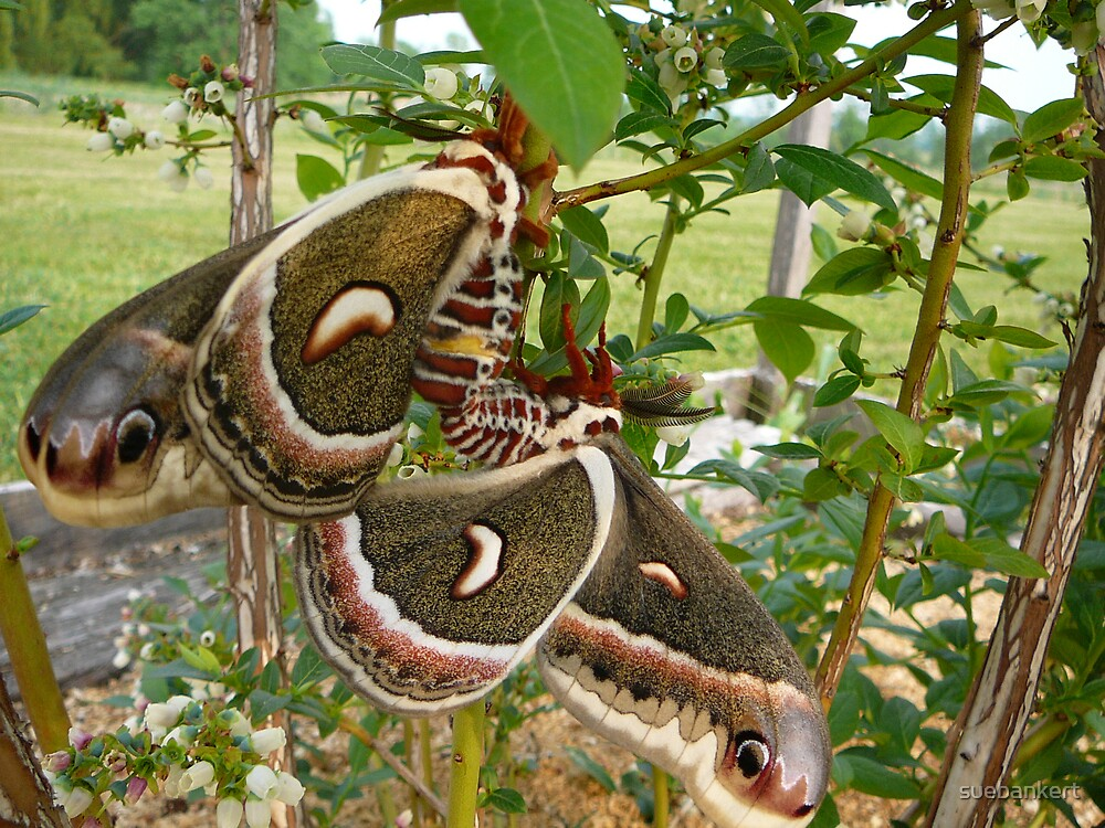 Moths 2 by suebankert