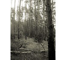 Vintage Photo of Pine Forest 2 Photographic Print