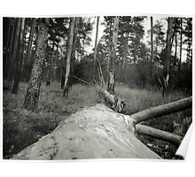 Vintage Photo of Pine Forest 4 Poster