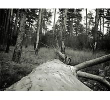 Vintage Photo of Pine Forest 4 Photographic Print