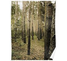 Vintage Photo of Pine Forest 5 Poster