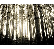 Vintage Photo of Pine Forest 8 Photographic Print