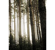 Vintage Photo of Pine Forest 9 Photographic Print