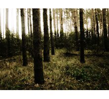 Vintage Photo of Pine Forest 10 Photographic Print
