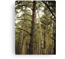 Vintage Photo of Pine Forest 11 Canvas Print