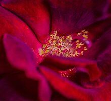 Velvet Rose by yolanda