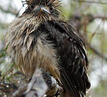 Wet Kookaburra by Douglas Stetner