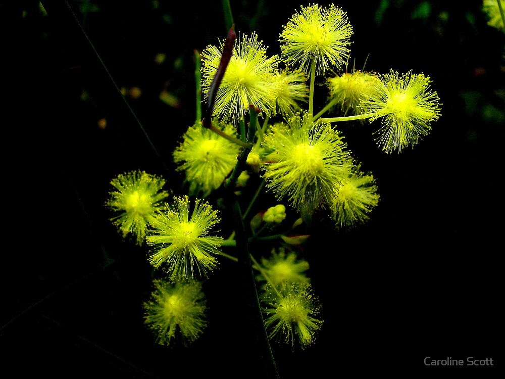 Wattle by Caroline Scott