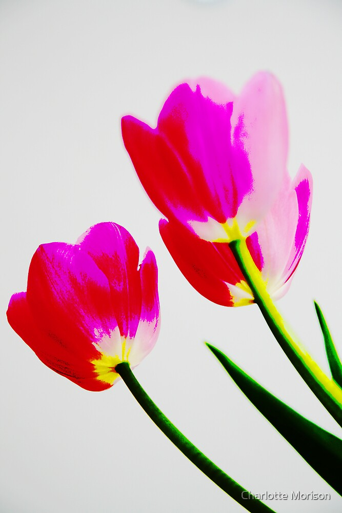 Tulips by Charlotte Morison