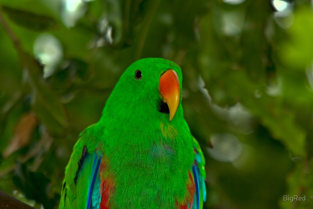 Eclectus Parrot by BigRed
