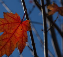 Almost Over - The Last Red Maple Leaves Sticker