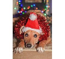 Funny Dog Wearing A Santa Hat At Christmas Photographic Print