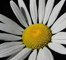 Wild Daisy by Martha Medford