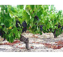 Vines Photographic Print