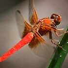 Darling Dragonflies by DARRIN ALDRIDGE
