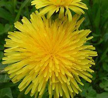 Dandelions by Martha Medford