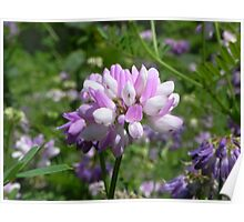 Purple Crown Vetch Poster