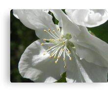 Apple Blossom 2 Canvas Print