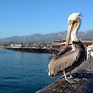 Pelican by Henrik Lehnerer
