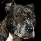 Staffordshire Bull Terrier Portrait by LunarLioness