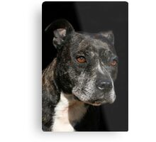 Staffordshire Bull Terrier Portrait Metal Print