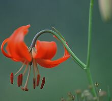 Lone Fire Lily by Graeme