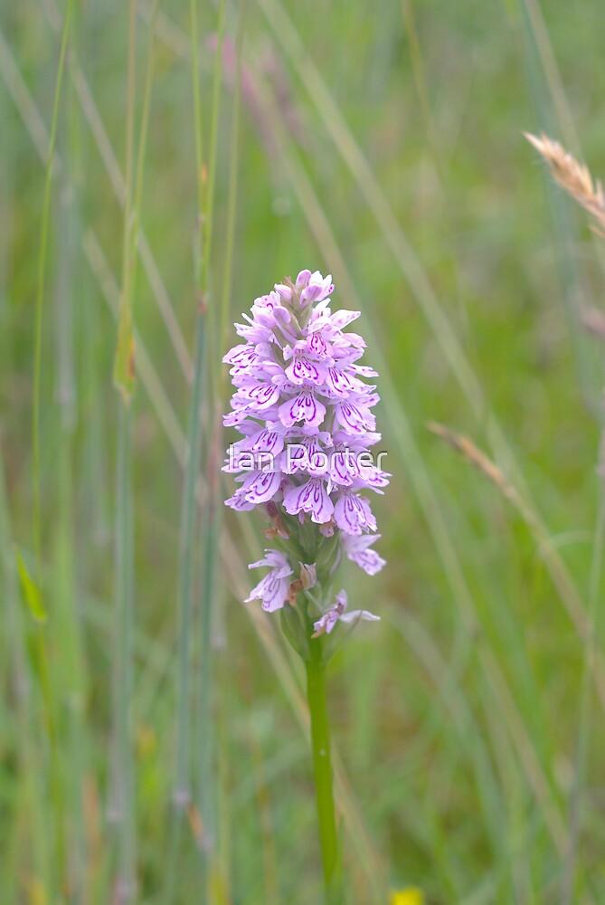 Marsh (Bog) Orchid in Glen Nevis by Ian Porter