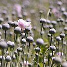 field of poppies 3 by ligek