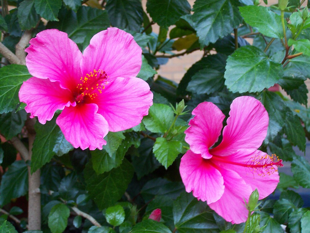 hibiscus from our casa by StacyLizeth