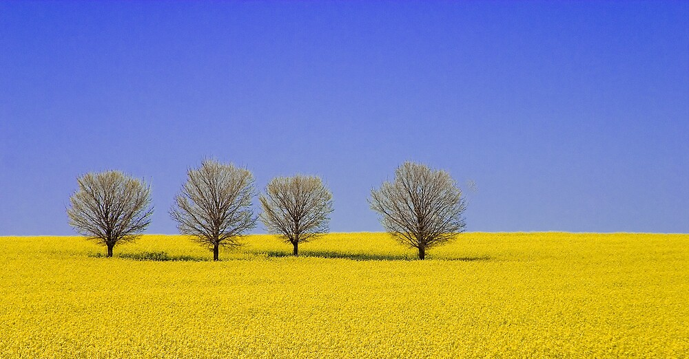 Canola Field by RobYoung