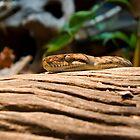 Scrub Python by BigRed