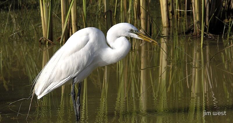 Common Egret by jim west