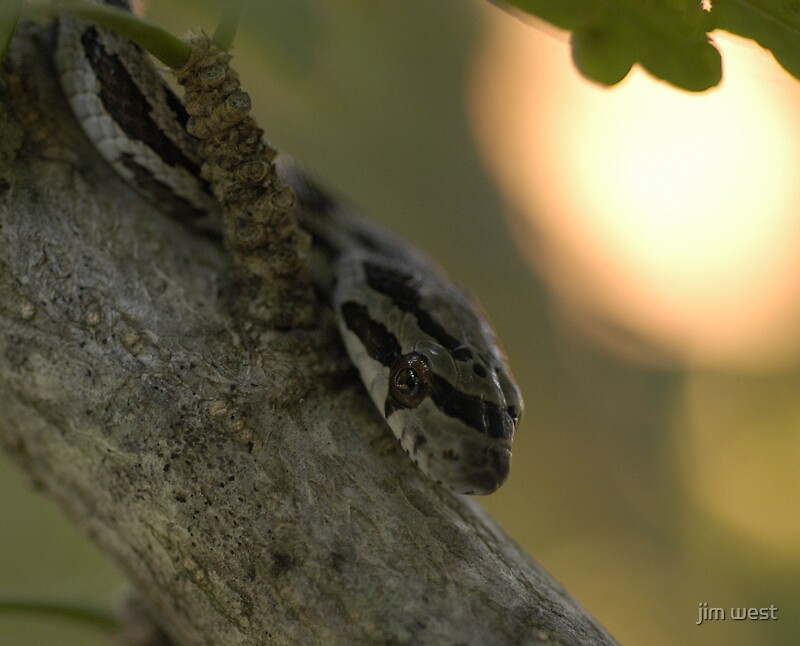 Immature Texas Rat Snake by jim west