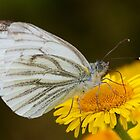 Green-veined White Butterfly by Neil Bygrave (NATURELENS)