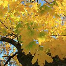 Yellow in the Maple by Kelly Chiara