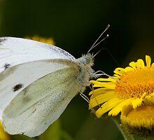 Small White Butterfly by Neil Bygrave (NATURELENS)