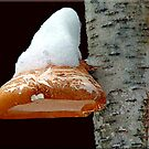 Snow capped toadstool by Kelly  McAleer