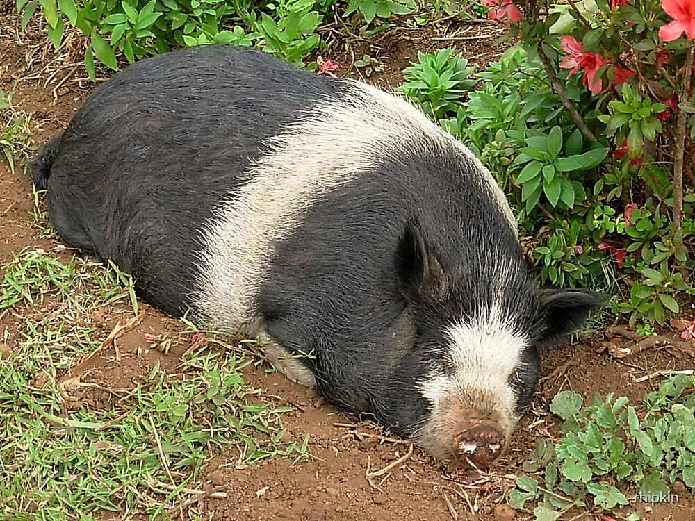 Sleeping Pig by rhipkin