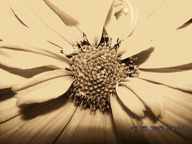 sepia flower by Jaclyn Clemens