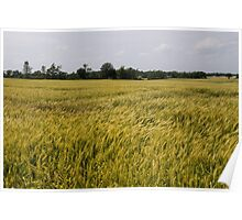 Golden Wheat Harvest, Ripening In The Wind Poster
