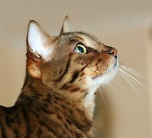 Misty My Bengal by minniemanx