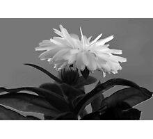 Chrysanthemum Photographic Print